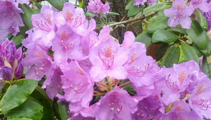 Alppiruusut ja syreenit kukkivat – Rhododendrons and lilacs are blooming