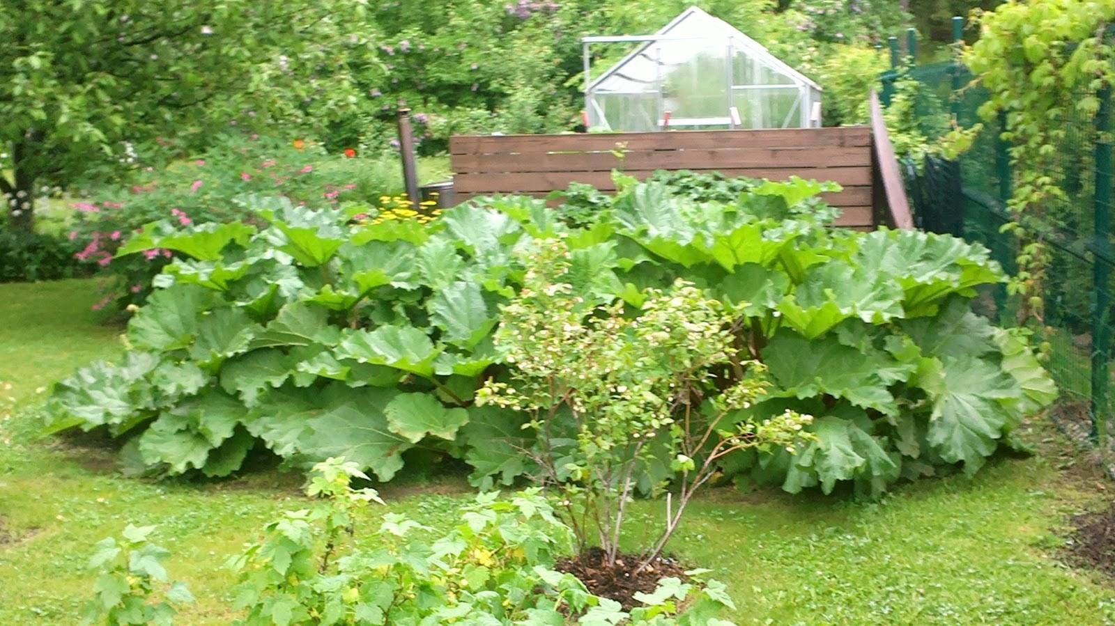 Raparperin alla… – Rhubarb…