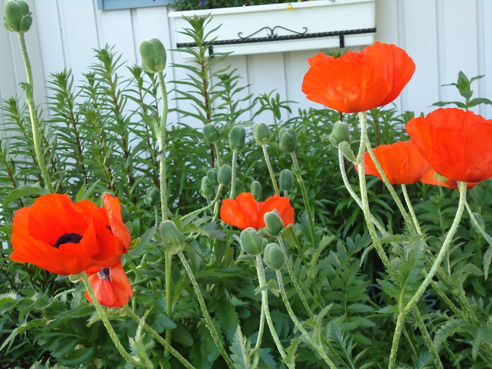 Unikot aloittelevat kukkimistaan! – Poppies are beginnig to bloom!
