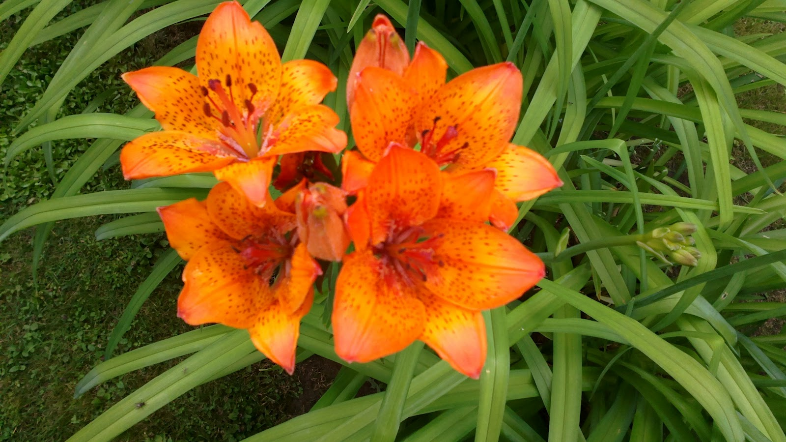 Lähes joka päivä uusia perennoja puhkeaa kukkaan! – Almost every day some new perennial begins to bloom!