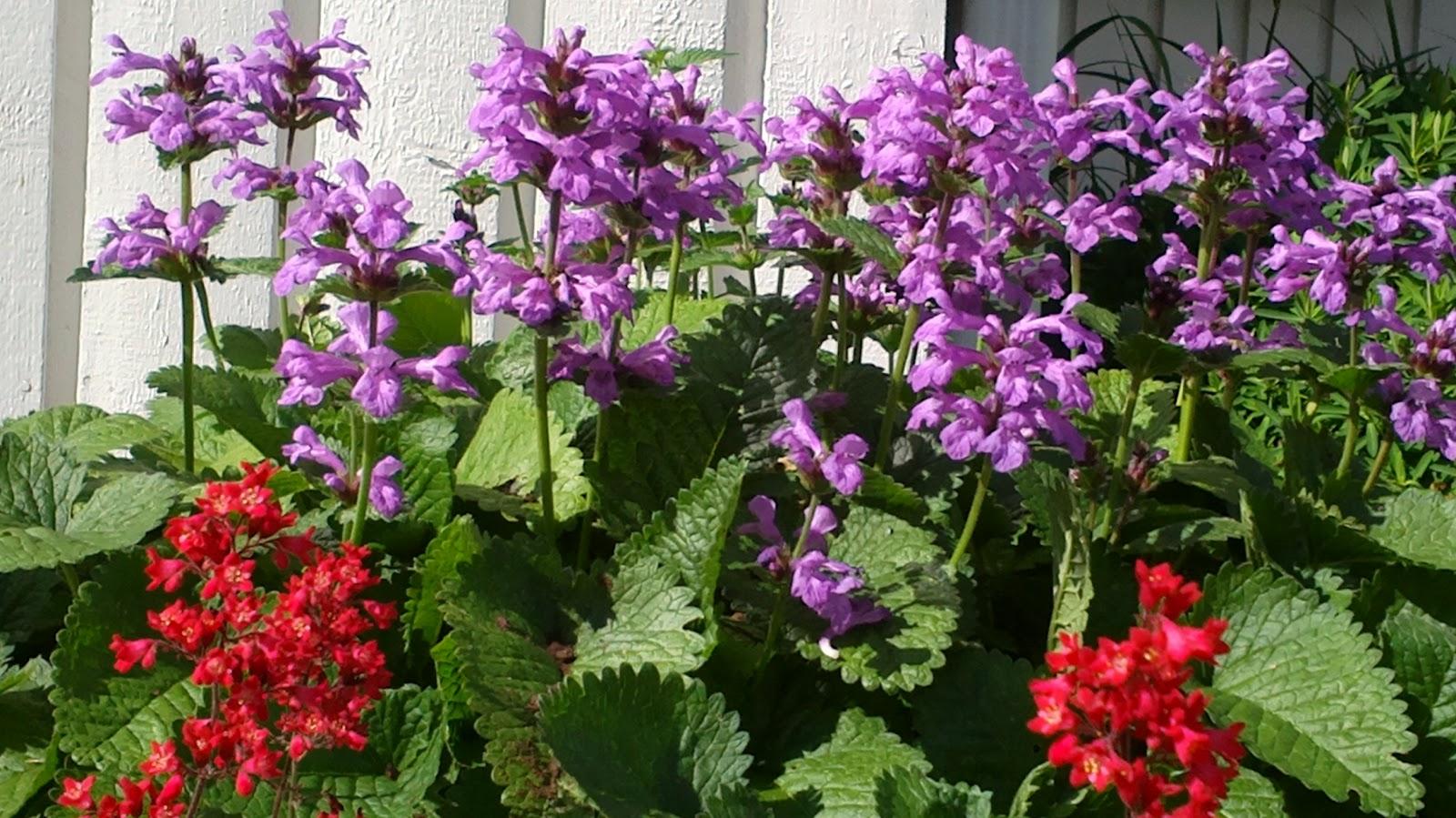 Pähkämö ja jalokallioiset kukkivat – 'Superbas' have begun to bloom