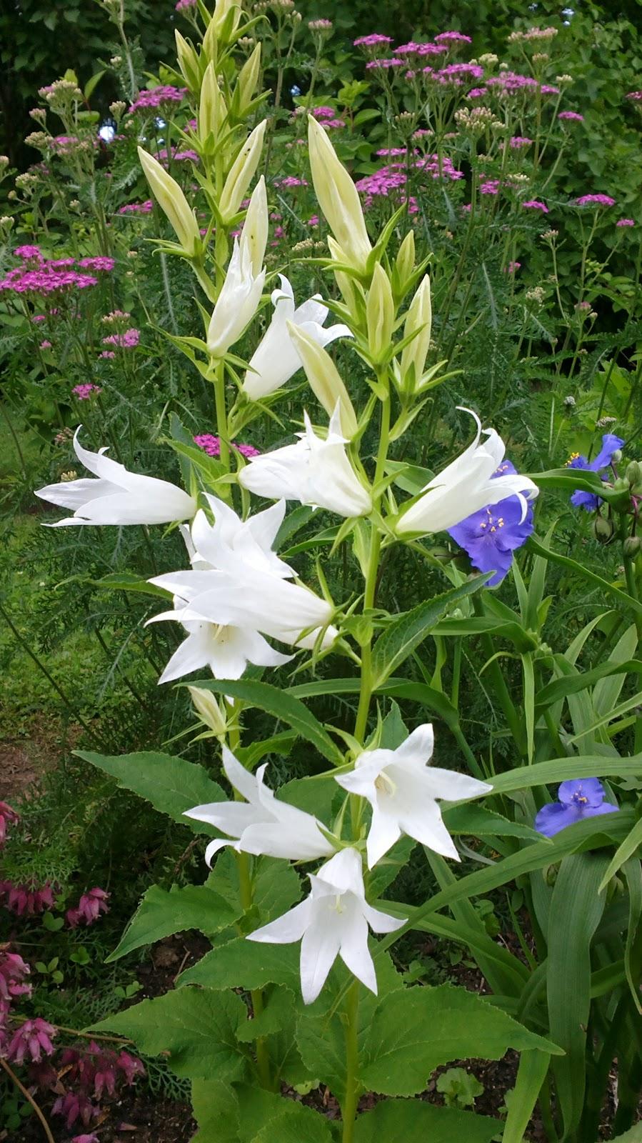 Ukonkello ja tarhajuoru kukkivat – Giant bellflowers and blue stones are blooming