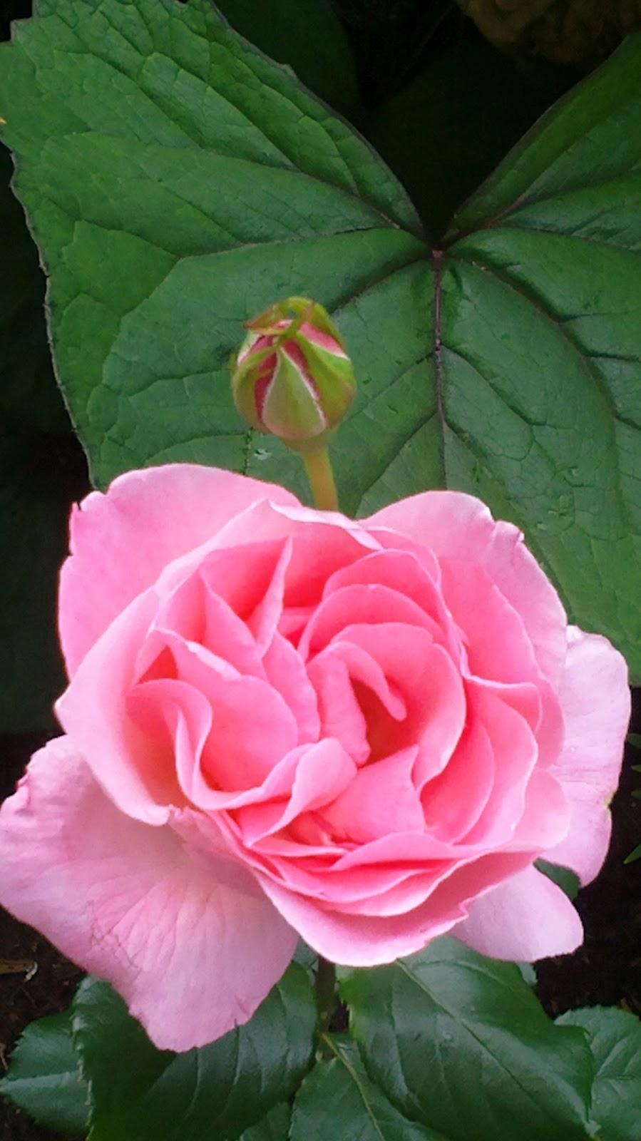 Vaaleanpunainen ryhmäruusu ja keltainen lilja kukkivat – A pink rose and yellow lilies are blooming