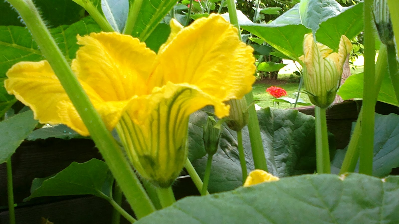 Kurpitsa kukkii ja kasvaa – A pumpkin is blooming and growing