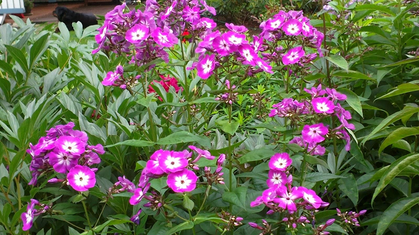 Syysleimut ovat alkaneet kukkimaan – Phloxes are starting to bloom