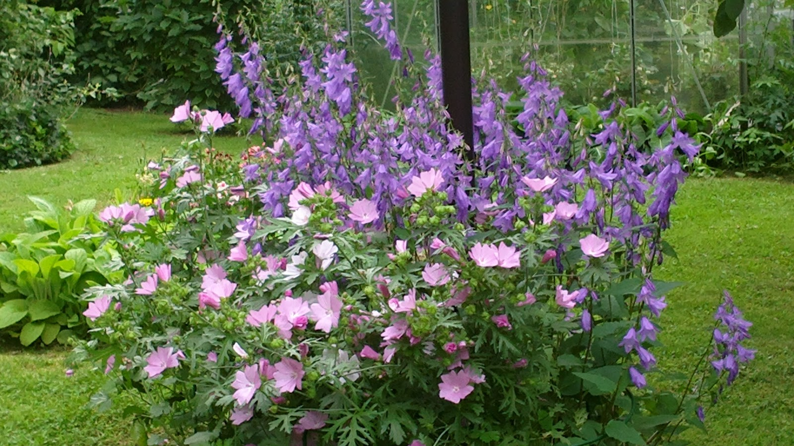 Malvat ja vuohenkellot kukkivat – Mallows and bellflowers are blooming