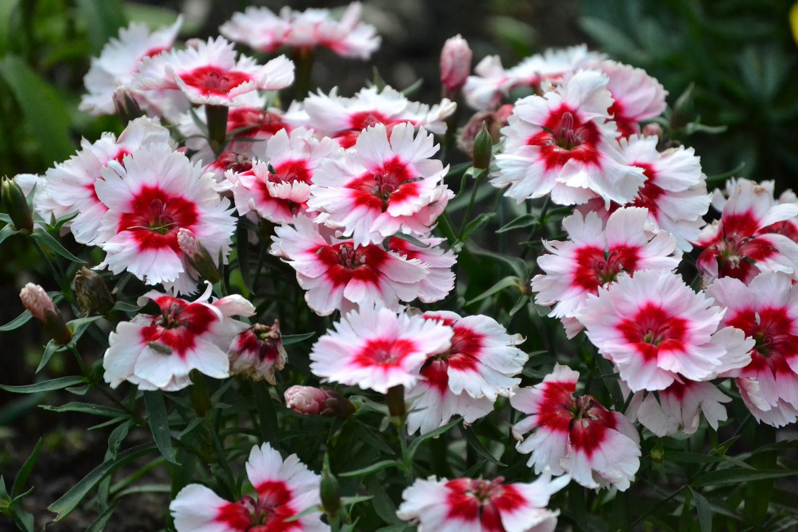Kesäkukkia – Some summerflowers