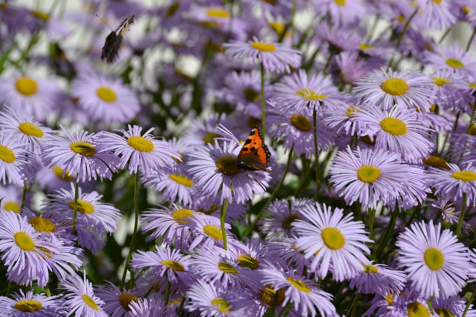 Jotkut perennat jaksavat kukkia kaikesta sateesta huolimatta – Some perennials keep on blooming in spite of all the raining
