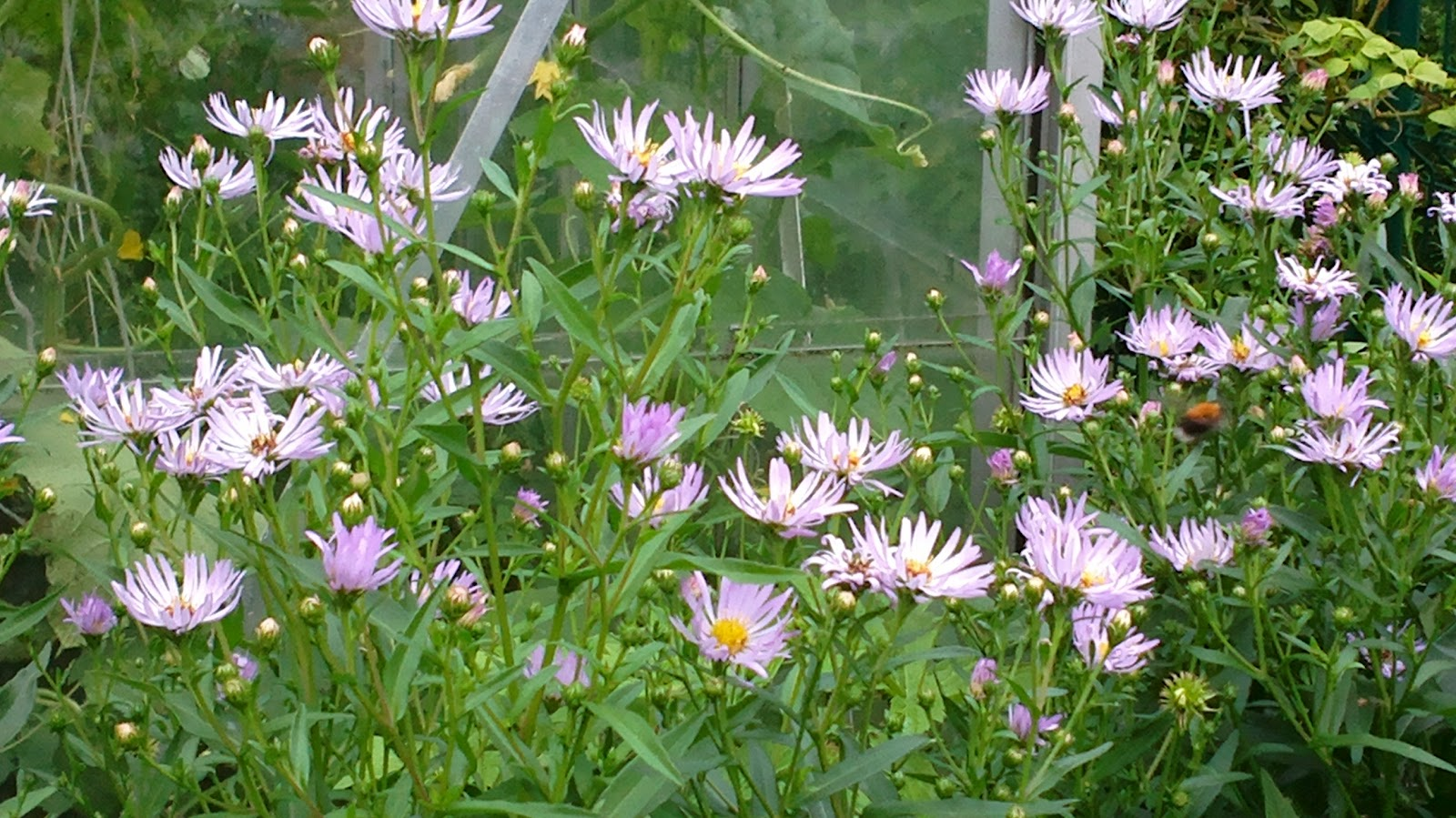 Syysasterit – Asters
