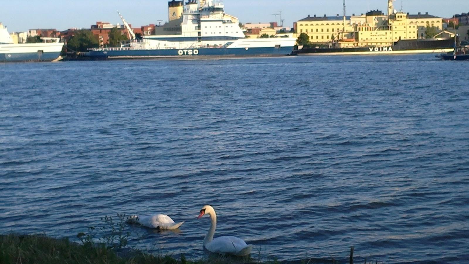 Joutsenpariskunta Helsingissä  –  A swan couple in Helsinki