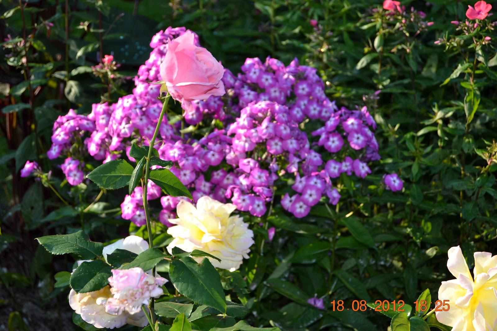 Ruusut ja syysleimut kukkivat – Roses and phloxes are blooming