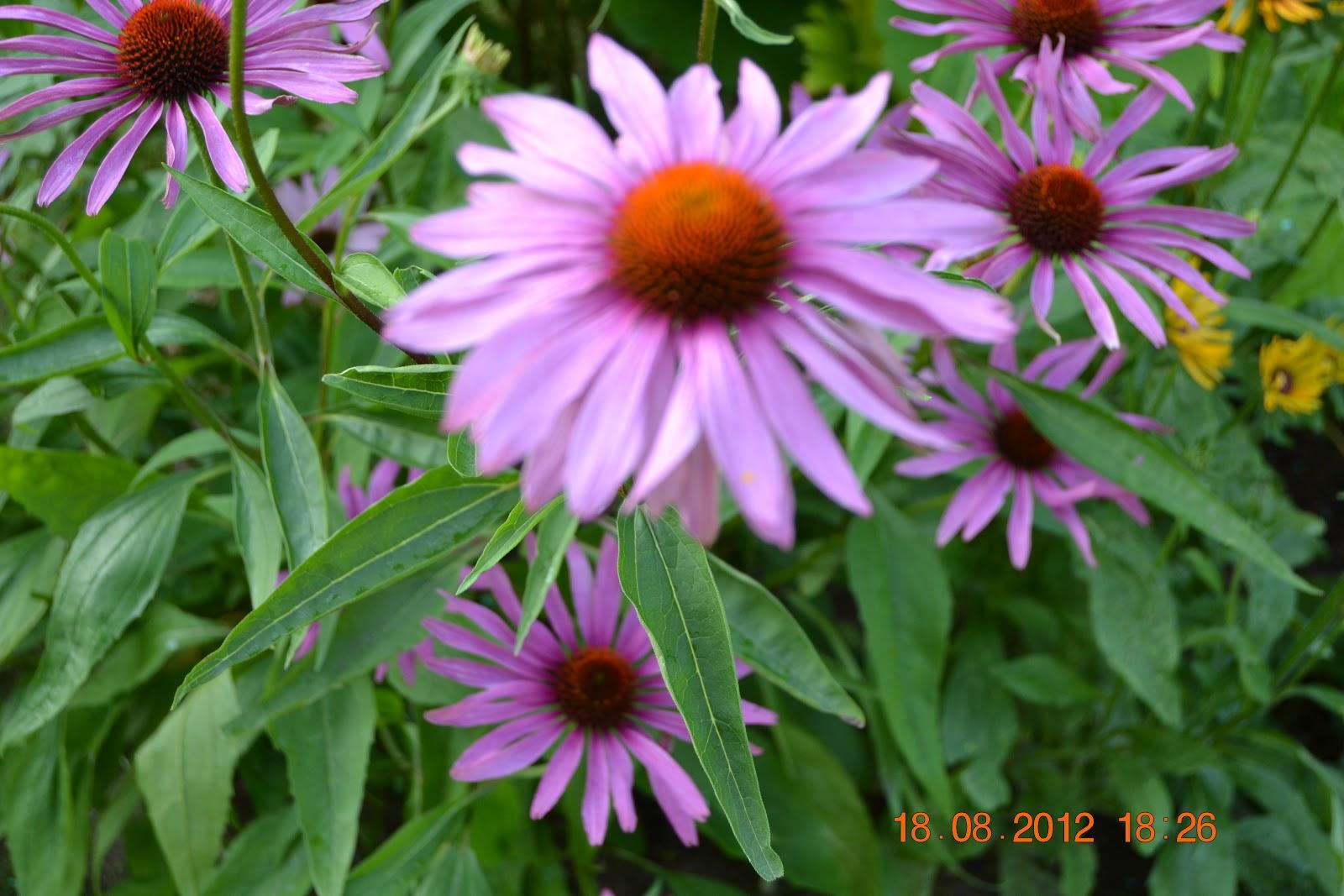 Perennoja – Some perennials