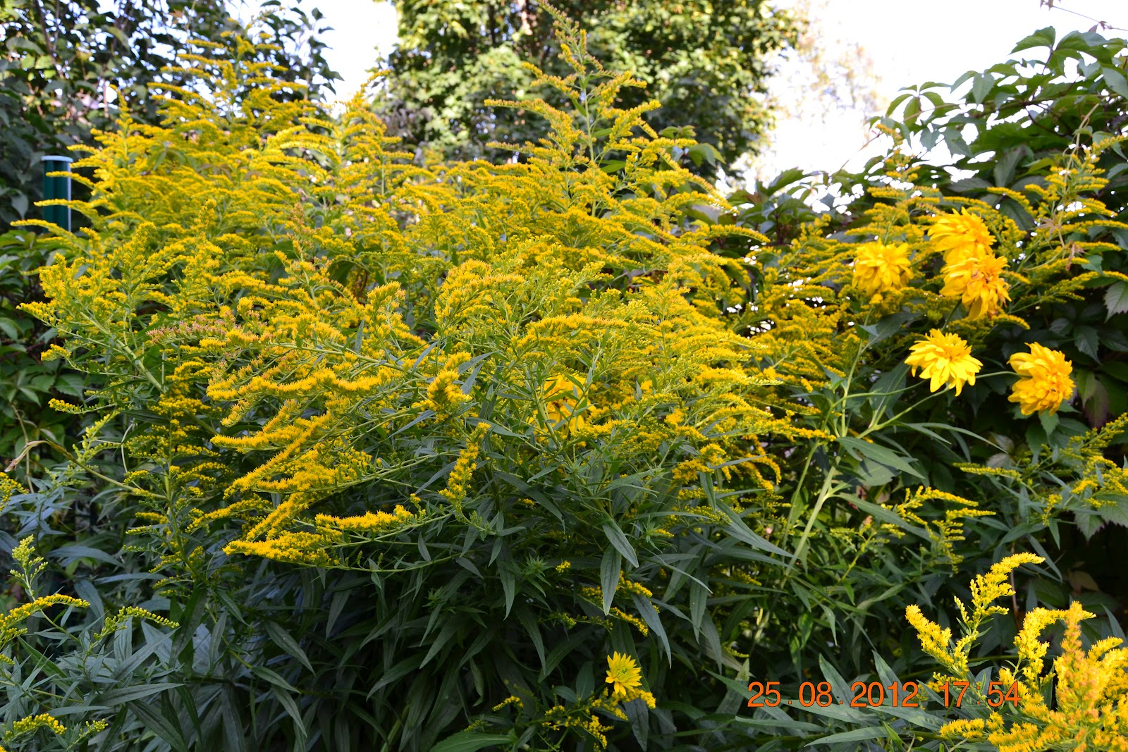 Kuvia kukkivista perennoista puutarhassamme – Some photos of the blooming perennials in our garden