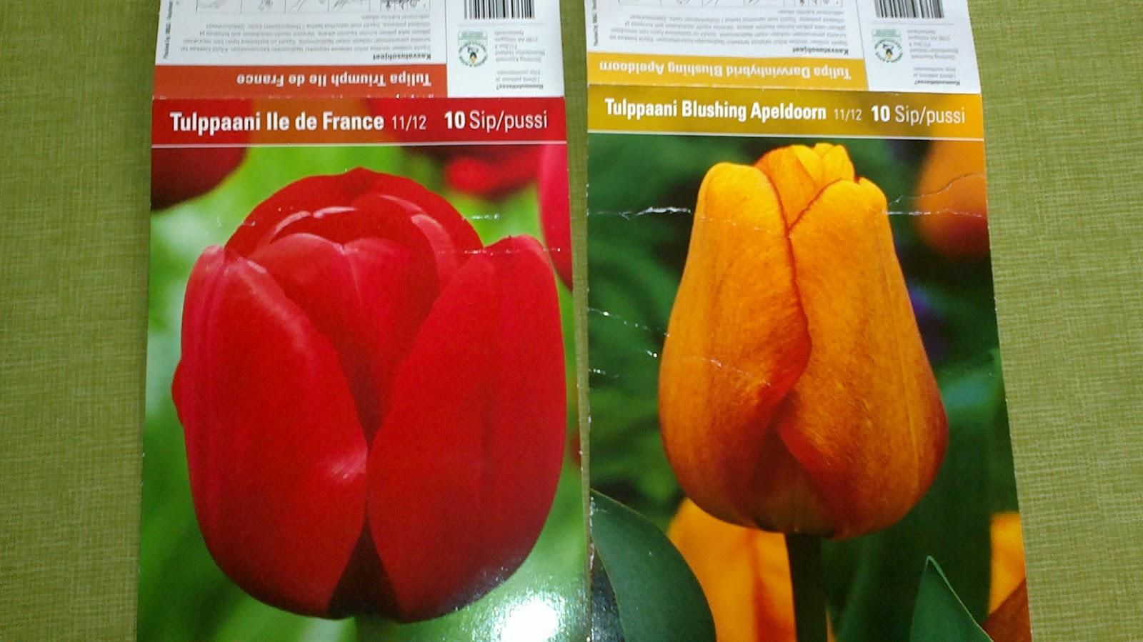 Lankesin sitten minäkin… – Some tulip bulbs…