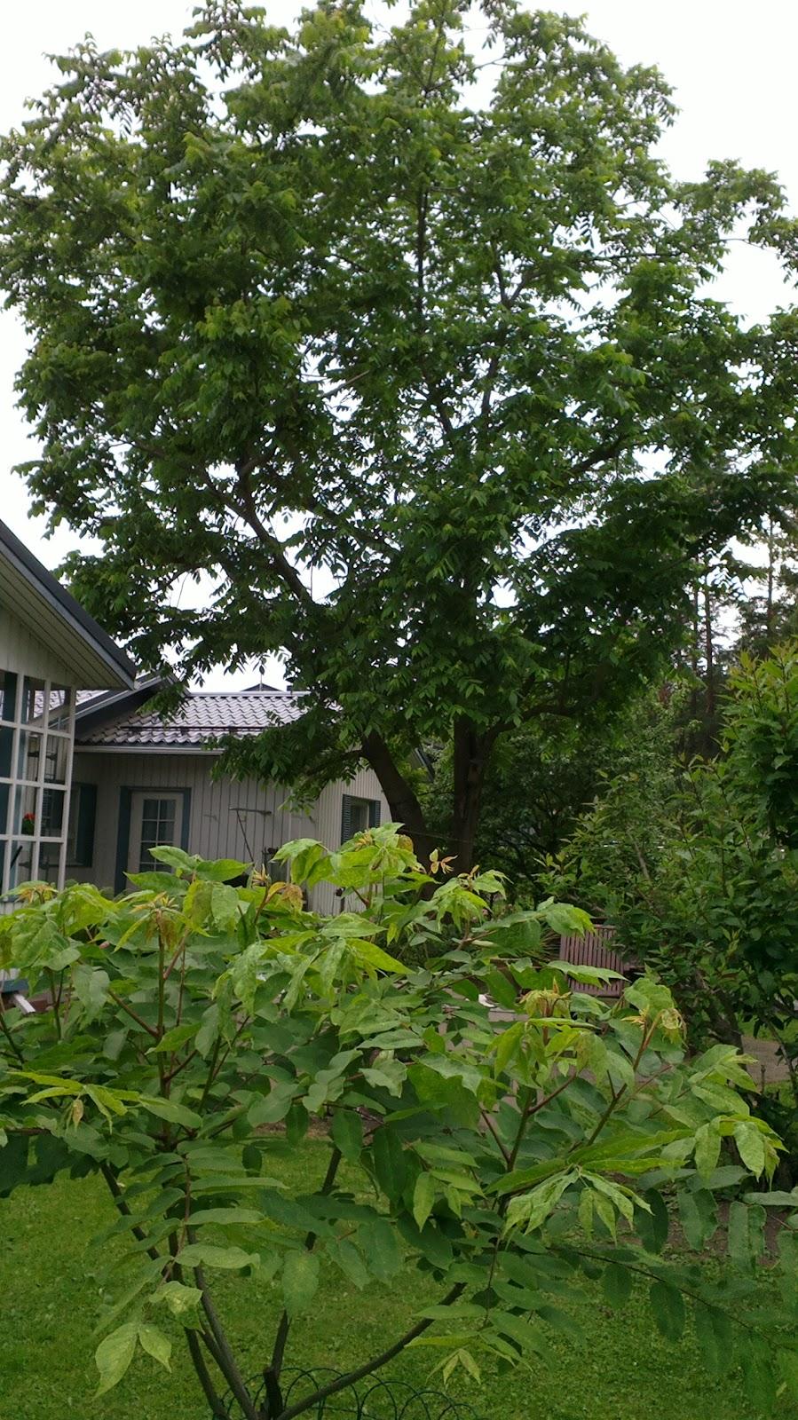 Puutarhani aarre – The treasure of my garden