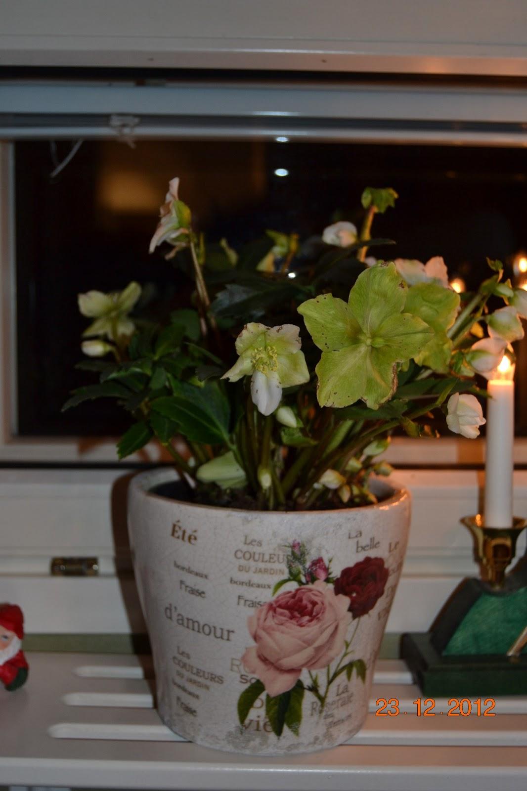 Jouluruusu – Christmas Star (Helleborus niger)