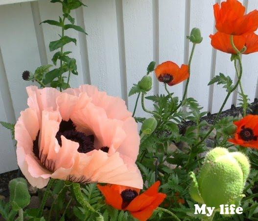Lempiperennani – My favorite perennials
