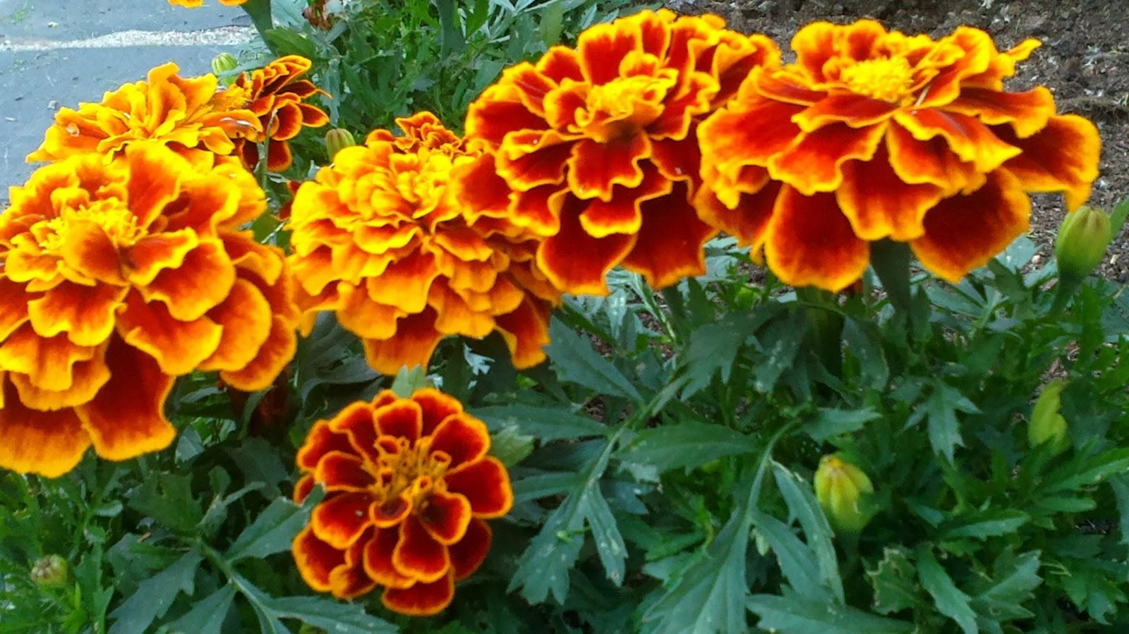 Kesäkukkia viime kesältä – Annuals from last summer