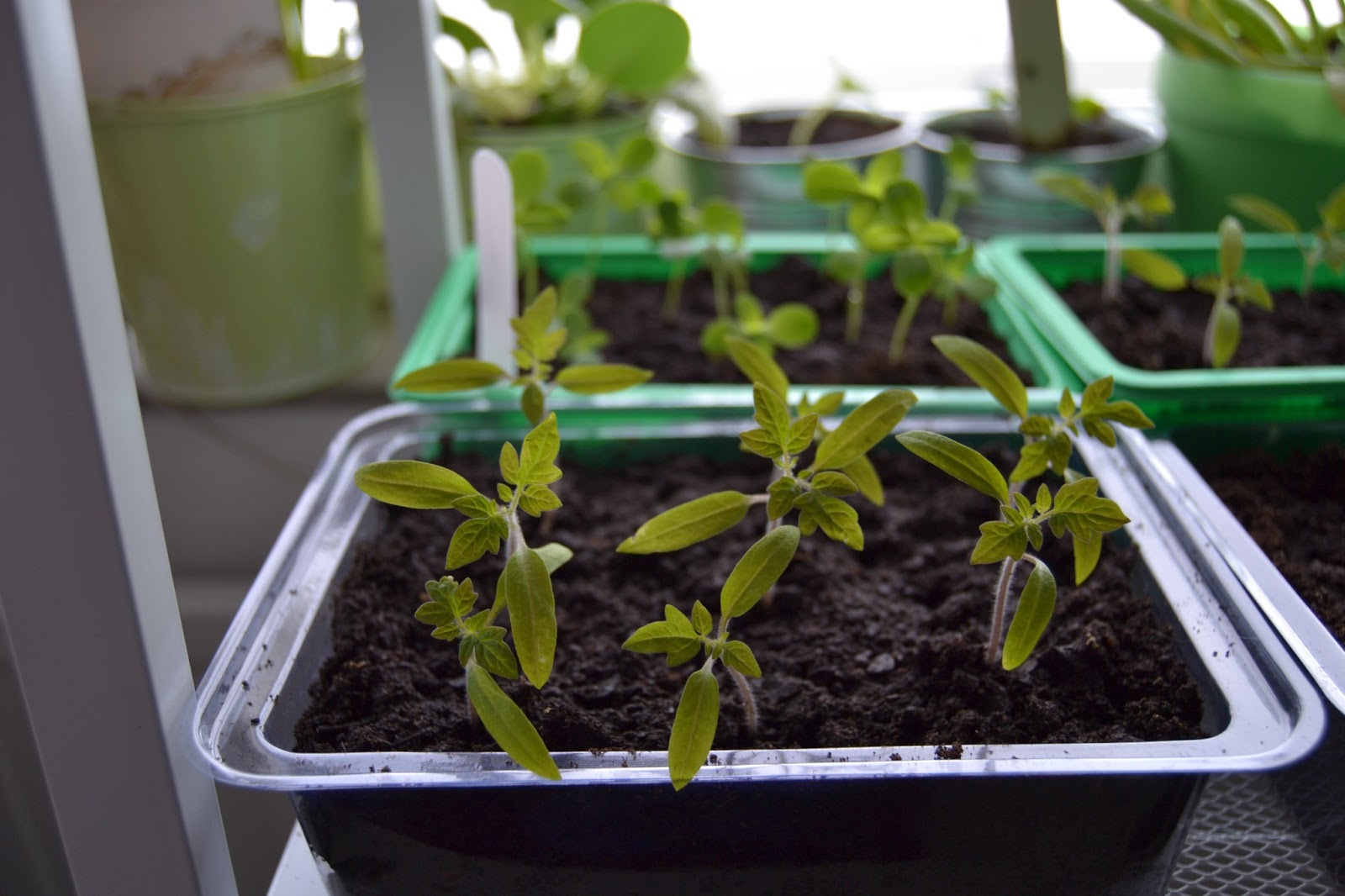 Taimet kasvavat – Seedlings are growing