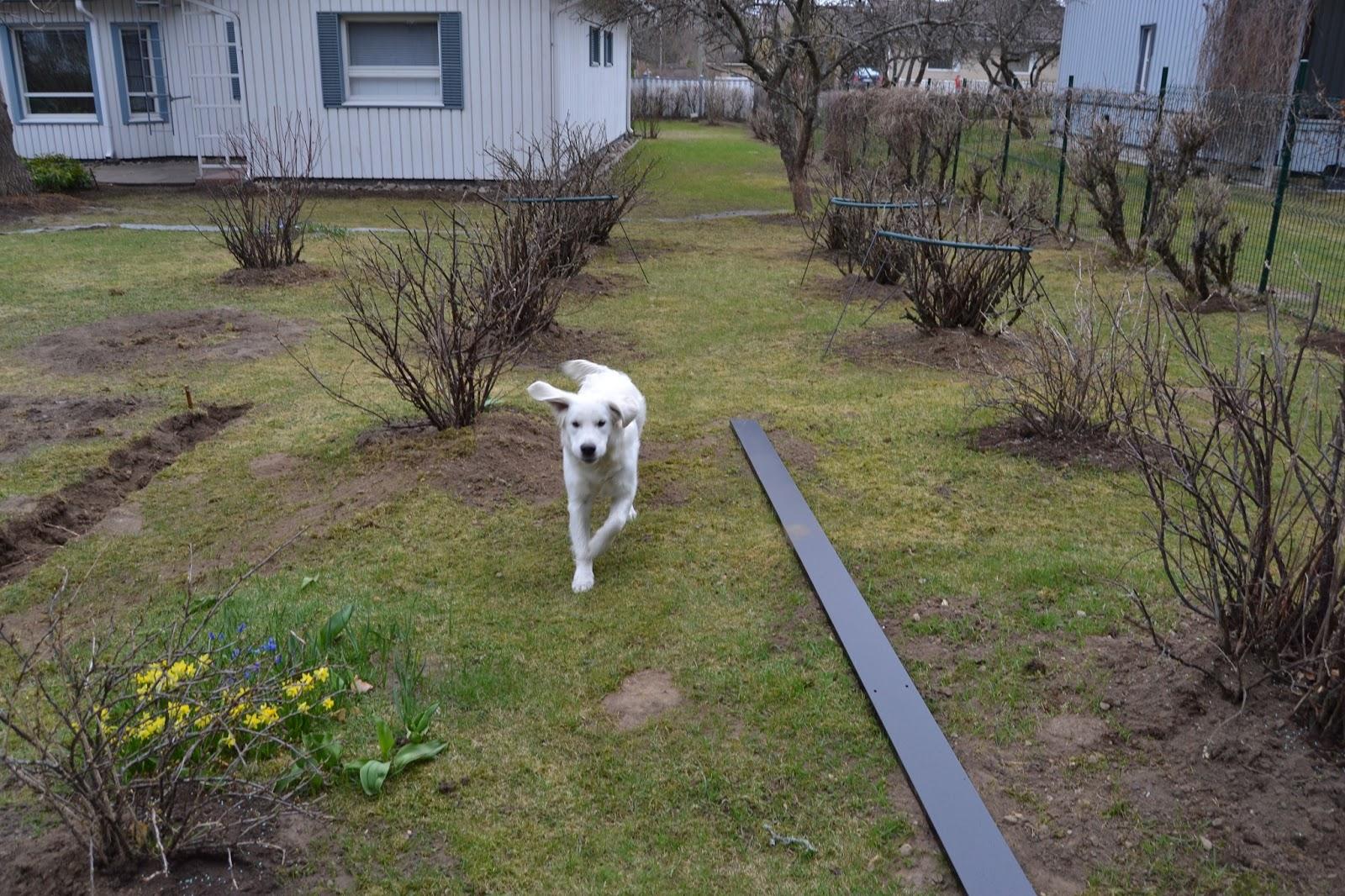 Puutarhakuulumisia… – Gardening news…