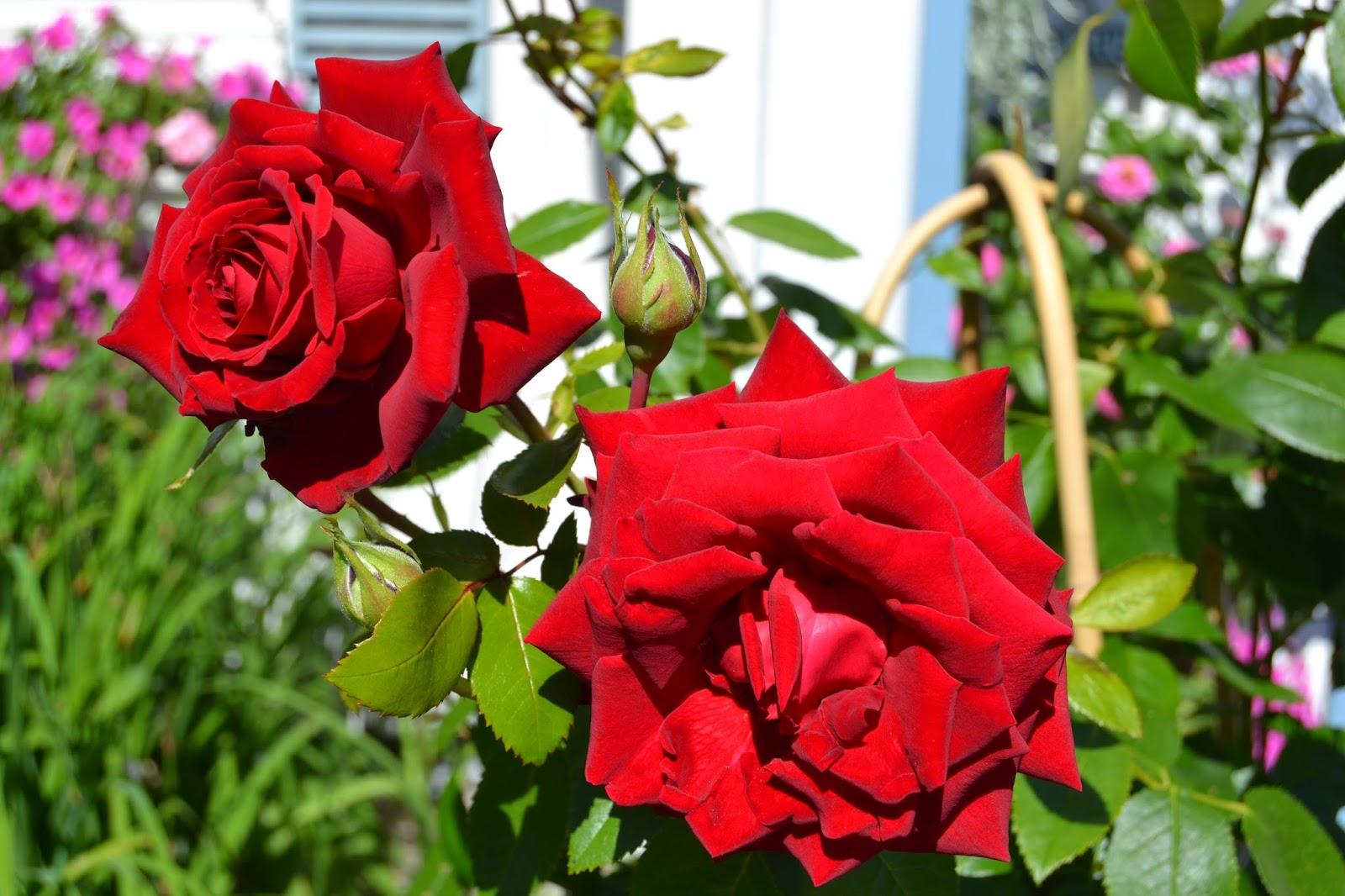 Puutarhamme on avoinna sunnuntaina 4.8.2013 – Our garden is open on the 4th of August