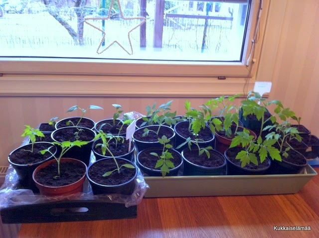250 taimipottia ja kohta arvotaan! – 250 pots of seedlings!