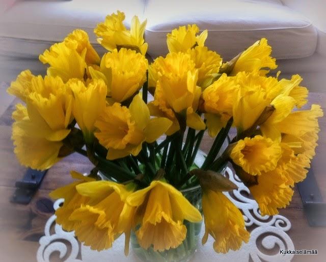 Narskut kuin auringot! – Daffodils!