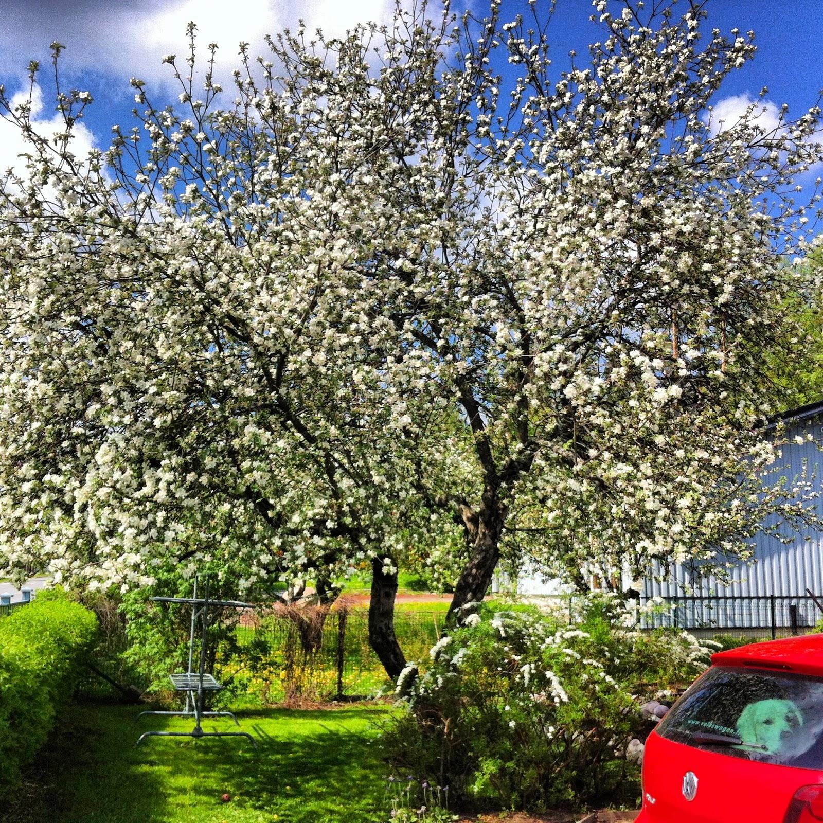 Omenapuitten kukkiessa – Blooming trees