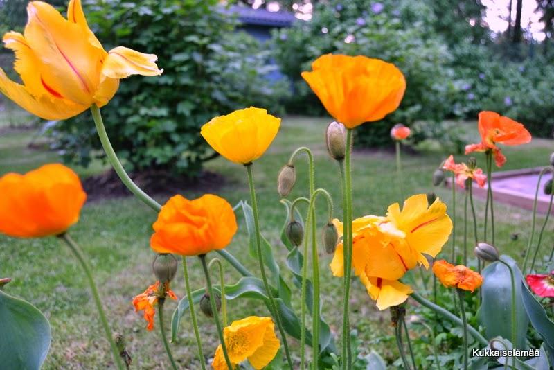 Muutama alkukesän kukkija – Some bloomers