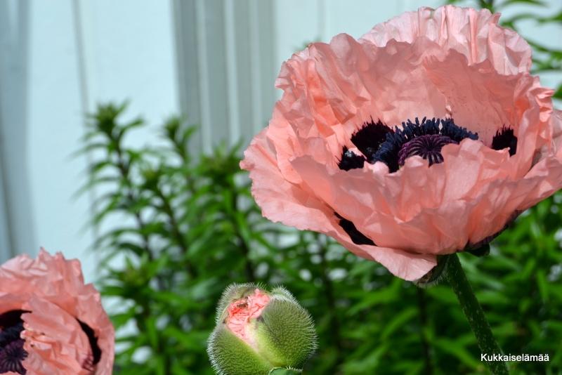 Kukkaa pukkaa! – Flower power in Midsummer