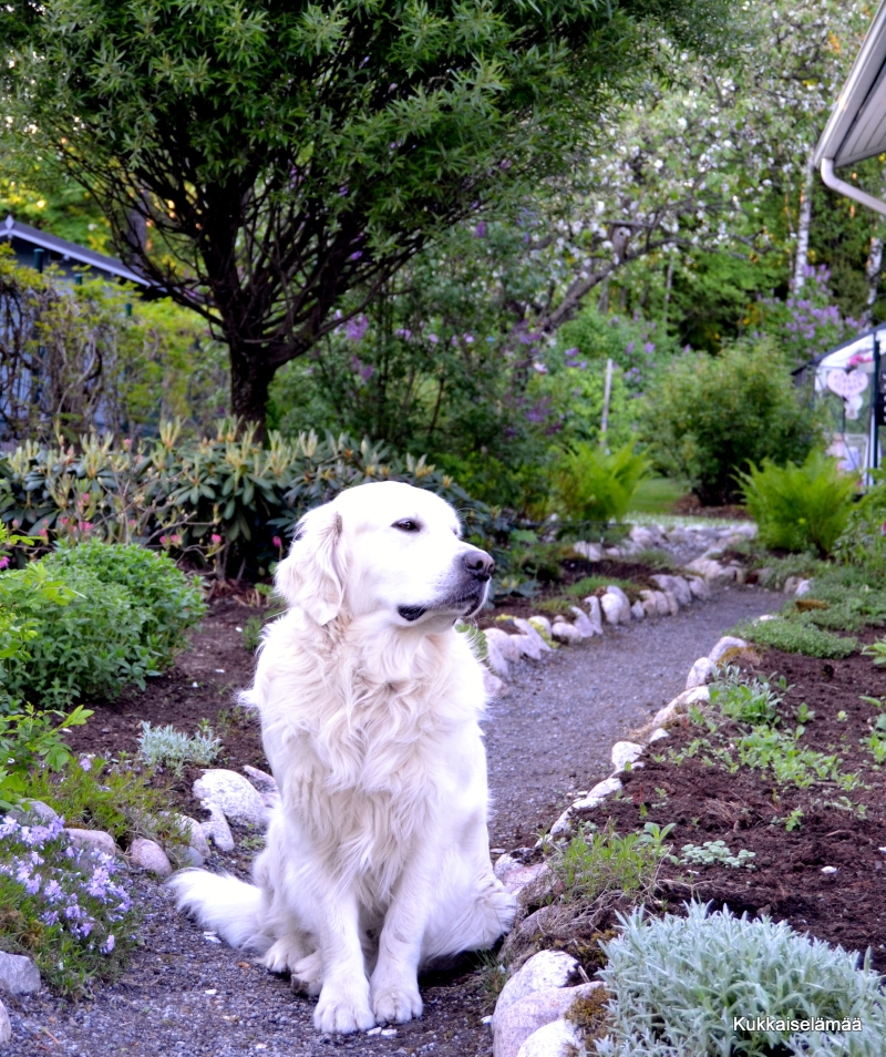 Mikki ihan pihalla – Mickey's tour in our garden