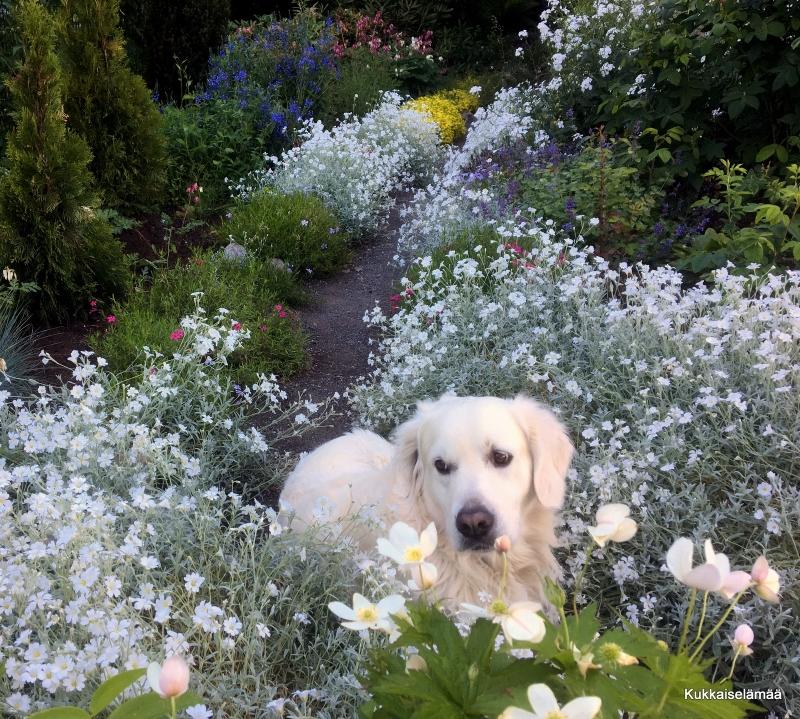 Mikki kukkaiskylvyssä