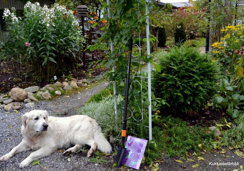 Helpotusta sipuliurakkaan! – Planting bulbs with Mickey!