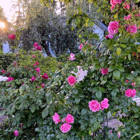 Ihanat ruusut!