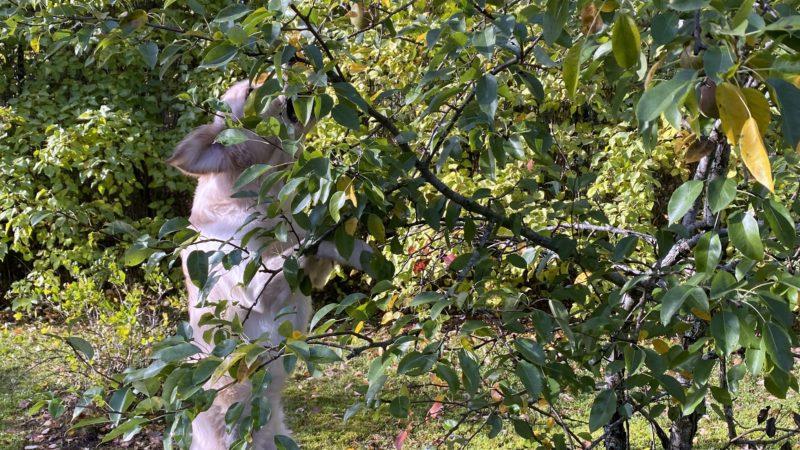 Mortin tekee mieli päärynöitä